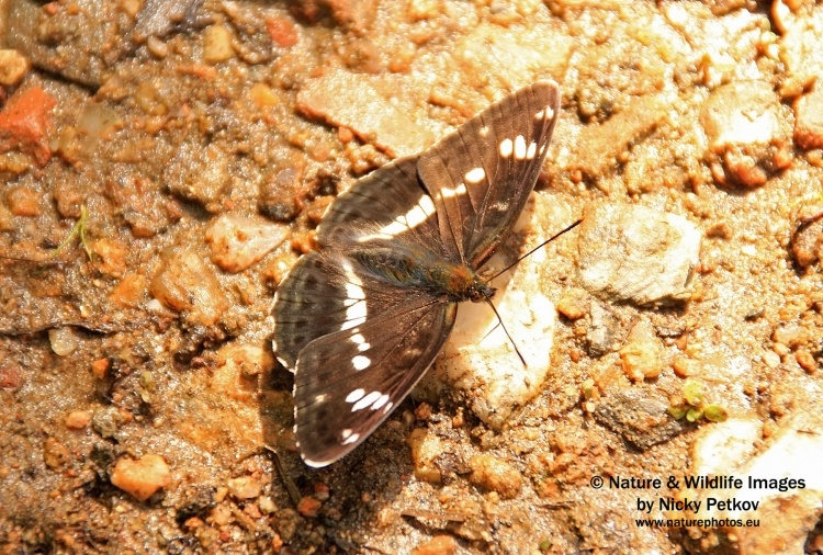 WildLife Photos of Insects, Butterfly, White Admiral, Limenitis camilla