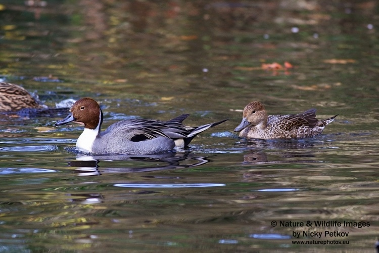 WildLife Photos of Birds, Geese, Ducks & others, Northern Pintail, Anas acuta