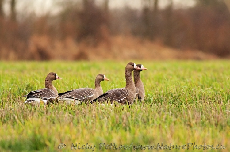 WildLife Photos of Birds, Geese, Ducks & others, Greater White-fronted Goose, Anser albifrons