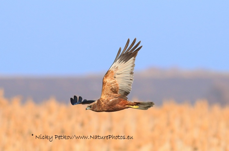 WildLife Photos of Birds, Birds of Prey, Western Marsh-harrier, Circus aeruginosus