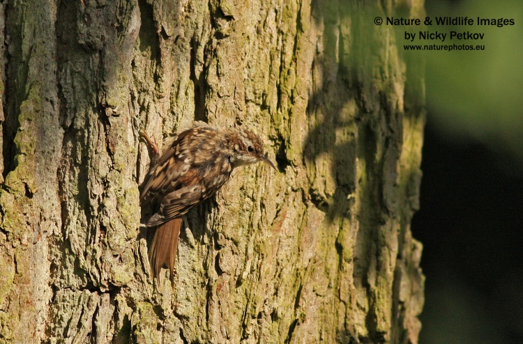 WildLife Photos of Birds, Nuthatches & Treecreepers, Short-toed Tree-creeper, Certhia brachydactyla