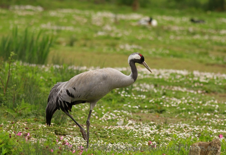 WildLife Photos of Birds, Cranes & Bustards, Common Crane, Grus grus