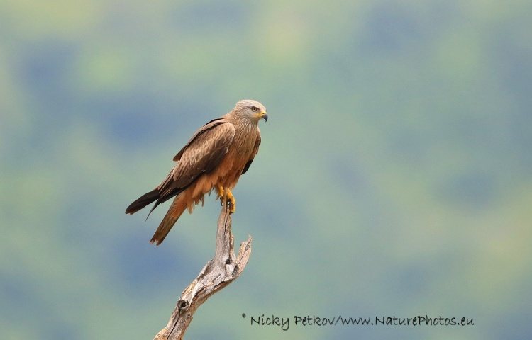 WildLife Photos of Birds, Birds of Prey, Black Kite, Milvus migrans