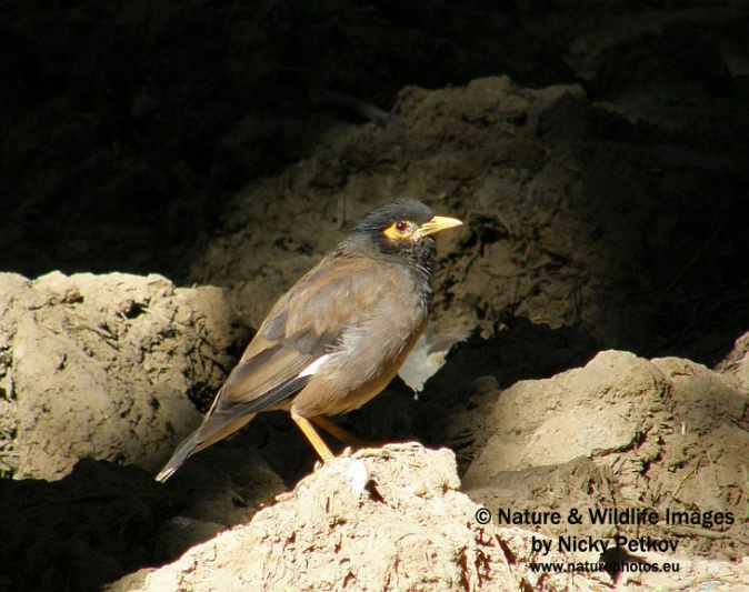 WildLife Photos of Birds, Crows, Starlings & others, Common Myna, Acridotheres tristis