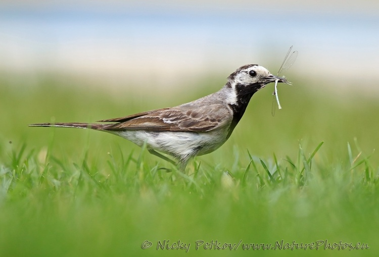 WildLife Photos of Birds, Pipits & Wagtails, White Wagtail, Motacilla alba