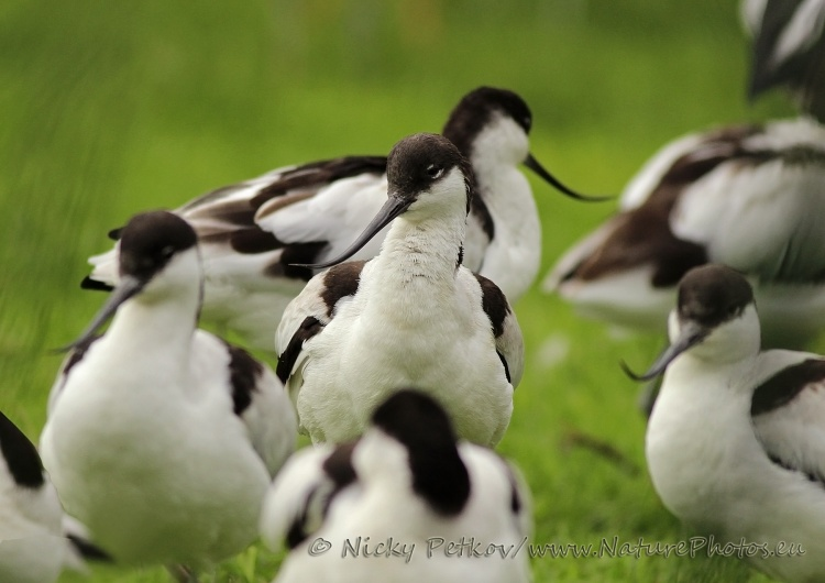 WildLife Photos of Birds, Waders, Pied Avocet, Recurvirostra avosetta