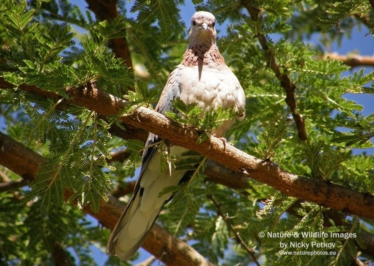 WildLife Photos of Birds, Pigeons, Doves, Cuckoos & others, Laughing Dove, Streptopelia senegalensis