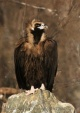 WildLife Photos of Birds of Prey, Cinereous Vulture, Aegypius monachus