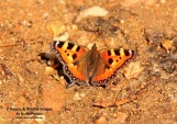 WildLife Photos of Small turtoiseshell, Aglais utricae