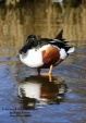 WildLife Photos of Birds, Geese, Ducks & others, Northern Shoveler, Anas clypeata
