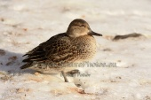 WildLife Photos of Teal, Anas crecca