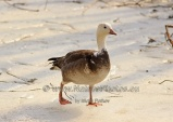 WildLife Photos of Birds, Geese, Ducks & others, Snow Goose, Chen caerulescens