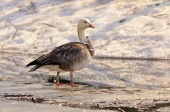 WildLife Photos of Snow Goose, Chen caerulescens