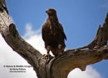 WildLife Photos of Birds of Prey, Tawny Eagle, Aquila rapax