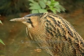 WildLife Photos of Great Bittern, Botaurus stellaris