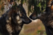 WildLife Photos of Mammals, Carnivores, Wolf, Canis lupus