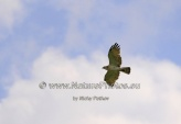 WildLife Photos of Birds of Prey, Short-toed Snake-eagle, Circaetus gallicus