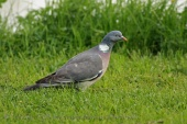 WildLife Photos of Birds, Pigeons, Doves, Cuckoos & others, Common Wood-pigeon, Columba palumbus
