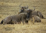 WildLife Photos of Mammals, Ungulates, Blue Wildebeest, Connochaetes gnou