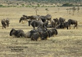 WildLife Photos of Blue Wildebeest, Connochaetes gnou