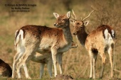 WildLife Photos of Fallow Deer, Dama dama