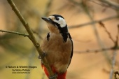 WildLife Photos of Great Spotted Woodpecker, Dendrocopos major