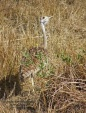 WildLife Photos of Black-bellied Bustard, Eupodotis melanogaster