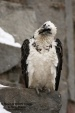 WildLife Photos of Birds of Prey, Lammergeier, Gypaetus barbatus