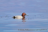 WildLife Photos of Common Pochard, Aythya ferina