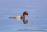 WildLife Photos of Birds, Geese, Ducks & others, Common Pochard, Aythya ferina