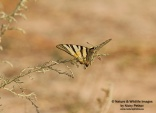 WildLife Photos of Scarce Swallowtail, Iphiclides podalirius