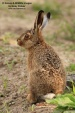 WildLife Photos of European Brown Hare, Lepus europaeus