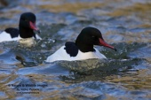 WildLife Photos of Common Merganser, Mergus merganser