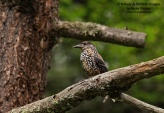 WildLife Photos of Spotted Nutcracker, Nucifraga caryocatactes