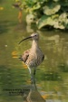 WildLife Photos of Eurasian Curlew, Numenius arquata