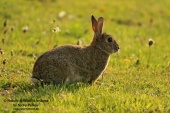 WildLife Photos of Mammals, Rodents, Rabbit, Oryctolagus cuniculus