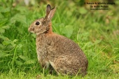 WildLife Photos of Rabbit, Oryctolagus cuniculus