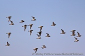 WildLife Photos of Eurasian Golden-plover, Pluvialis apricaria