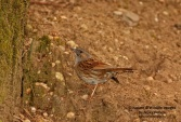 WildLife Photos of Hedge Accentor, Prunella modularis