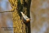 WildLife Photos of Nuthatches & Treecreepers, Nuthatch, Sitta europaea
