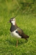 WildLife Photos of Birds, Waders, Northern Lapwing, Vanellus vanellus