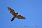 WildLife Photos of Birds of Prey, Northern Goshawk, Accipiter gentilis