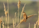 WildLife Photos of Warblers, Great Reed Warbler, Acrocephalus arundinaceus