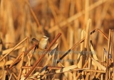 WildLife Photos of Warblers, Moustached Warbler, Acrocephalus melanopogon