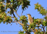 WildLife Photos of Warblers, Sedge Warbler, Acrocephalus schoenobaenus