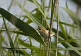 WildLife Photos of Warblers, Common Reed-warbler, Acrocephalus scirpaceus