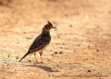 WildLife Photos of Eurasian Skylark, Alauda arvensis