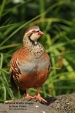 WildLife Photos of Red-legged Partridge, Alectoris rufa