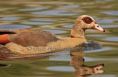 WildLife Photos of Egyptian goose, Alopochen aegyptiaca