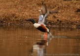 WildLife Photos of Northern Shoveler, Anas clypeata